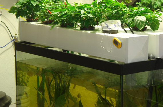 Cultivation of plants in water canna australia for Growing plants in water with fish