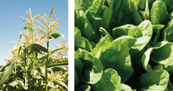 shrub plants examples plant flowering hormone florigen canna australia