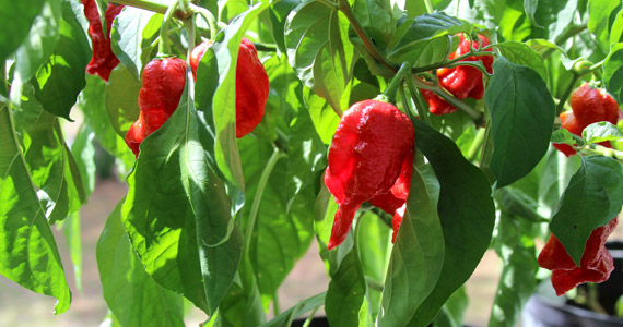 Grow it yourself: Ghost Pepper