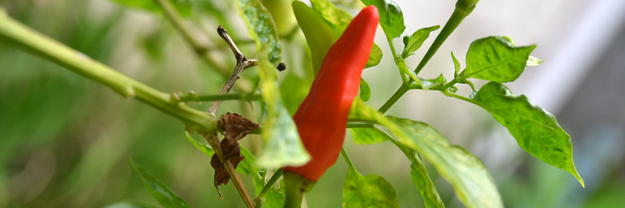 Grow it yourself: Chilli pepper