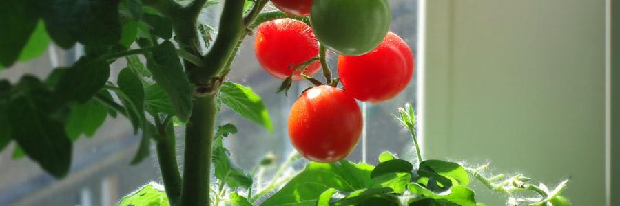 Grow it yourself: Tomatoes