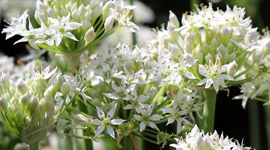 Grow it yourself: Garlic Chives