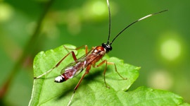 Parasitic wasps - Part 1 - Pests & Diseases