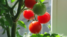 Grow it yourself: Tomatoes